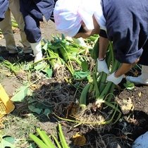 【9月里芋掘り】すくすく成長した里芋を古窯の社員が皆で掘り起こします。収穫された里芋のお味はいか程?
