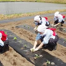 【5月里芋植え】古窯の仲居は毎年この時期、里芋の苗を植えに百姓園へ「おいしい里芋に育ちますように…」