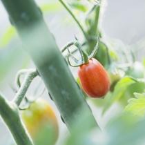 日高の豊かな食材たち【アイコトマト】