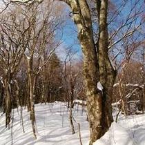 雪の母なる木500
