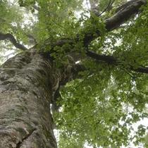 ブナの古木