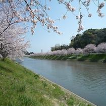 ■ソメイヨシノと青野川1