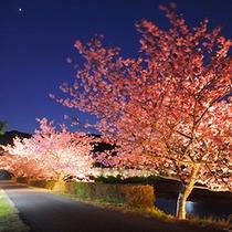 ■みなみの夜桜(2月)