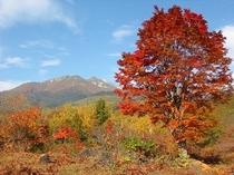 乗鞍岳とオオカエデ