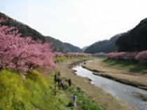 下賀茂 青野川沿いの桜