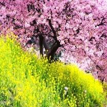 みなみの桜と菜の花祭り 2月5日〜3月10日