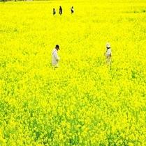 2月、3月頃南伊豆日野の菜の花畑