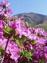 仙酔峡ミヤマキリシマの向こうに高岳を臨む