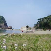 春今子浦海岸に咲く浜大根の花
