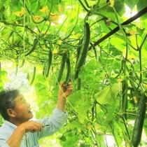 家庭菜園でのきゅうり収穫の様子です