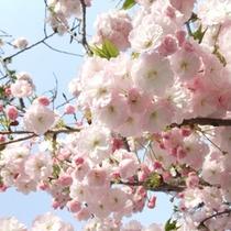 北杜市の名桜