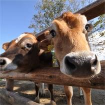 牛とふれあう