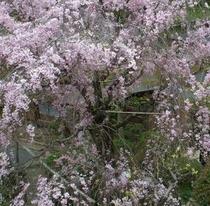 日本庭園から眺める春感じる桜花