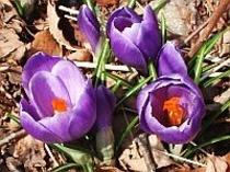 庭で咲いたクロッカス