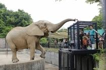 大森山動物園(アフリカ象)
