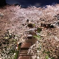 ■春の日本庭園 夜桜