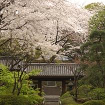 ■桜の時期の日本庭園