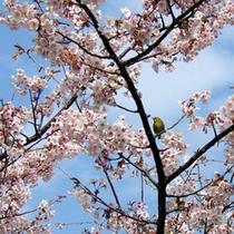 *桜(寒桜とめじろ)