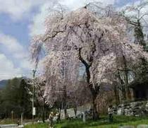 枝垂れ桜徹撚春