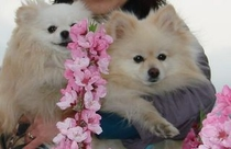 桃の花と愛犬
