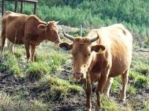 親牛の移動