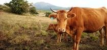 赤牛と阿蘇