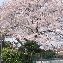 *【桜】当館そばに大きな桜の木♪春には綺麗な花を咲かせます。