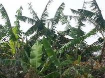 島バナナの葉