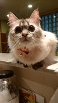 看板猫見習いぽぽさん