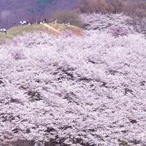 弘法山古墳(桜)