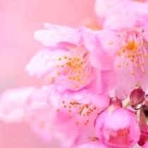 伊豆高原大寒桜まつり 毎年4月開催