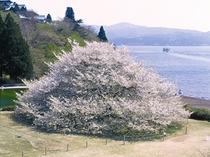 箱根園のオオシマザクラ