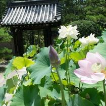【季節の花】蓮の花 唐招提寺