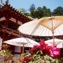 【季節の花】岡寺 牡丹