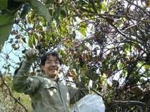 山葡萄の収穫
