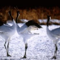 *釧路川の魅力(冬)/冬の湿原と言えば丹頂。翼を広げる姿は迫力満点。