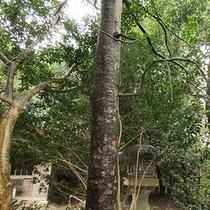 伊良湖神社境内の「なぎの木」<当館から車約5分>