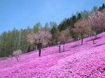 【芝桜公園】エゾヤマサクラと芝桜。その年の天候によっては両方見ることができます♪