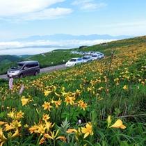ビーナスラインに咲く黄色の絨毯ニッコウキズゲ
