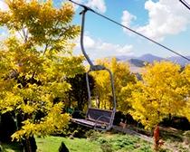 本州でここだけの黄金アカシアの黄葉