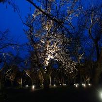 ■二条城 桜 ライトアップ