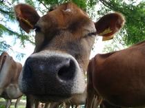 表情豊かなジャージー牛たち♪