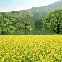 *飯山菜の花