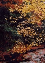 養老渓谷の紅葉9