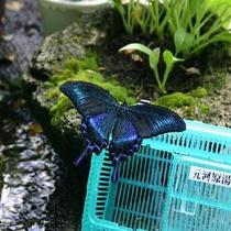 虫かごと蝶々