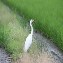 テラス前早川へ訪れる白サギ