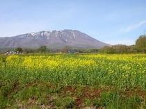 岩手山と菜の花