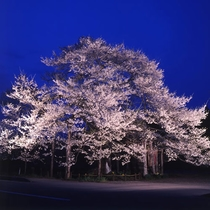 *【夜の弘法桜】例年見頃4月下旬 ~ 5月上旬!開花期間中はライトアップも行われます(車で約20分)