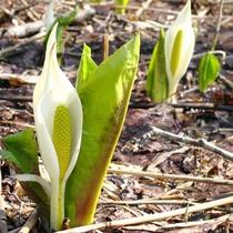 *【周辺観光】逢滝周辺には水芭蕉が咲きます(例年4月下旬頃見頃)