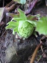 小滝で採れる蕗のとう(冬)